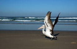 Pelican on the beach. NSW, Australia Royalty Free Stock Photo