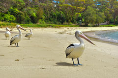 Pelican on the beach Royalty Free Stock Images