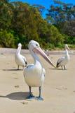 Pelican on the beach Stock Image