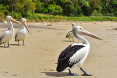 Pelican on the beach Stock Photos