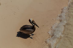 Pelican on Beach Royalty Free Stock Image