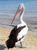 Pelican on the beach at bribie island Royalty Free Stock Images