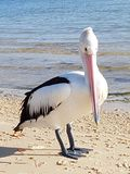 Pelican on the beach at bribie island Royalty Free Stock Image