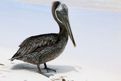 Pelican on the beach Stock Photo