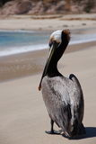 Pelican on  beach of Los Cabos 3 Royalty Free Stock Images
