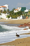 Pelican on beach in Mexico Stock Photos