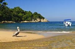 Pelican on beach in Mexico Stock Photos