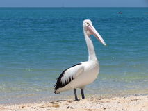 Pelican at the beach Royalty Free Stock Images