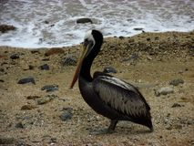 Pelican on the beach stock images