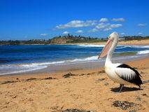 Pelican at beach scenery. An Australian pelican resting at a beach - seaside scenery (Northern Beaches, Sydney&#x29 Stock Photos