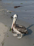Pelican On A Beach Royalty Free Stock Images