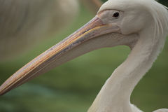 Pelican. The beak of a pelican fills the foreground Royalty Free Stock Images