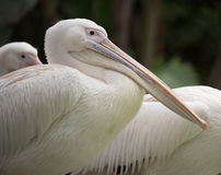 Pelican. The beak of a pelican fills the foreground Stock Photo
