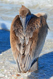 Pelican with Beak Tucked Backward!! Royalty Free Stock Photos