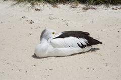 Pelican with Beak Tucked In. Pelican resting on beach posing with it`s elongated beak tucked in it`s feathers at Rottnest Island in remote Western Australia royalty free stock photos