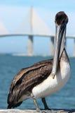 Pelican. Beautiful pelican against skyway bridges royalty free stock photos