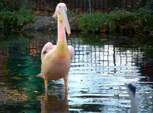 Pelican. A beautiful pelican in a small lake in London Stock Photography
