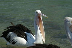 Pelican begging for food Stock Photo