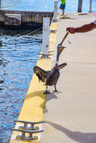 Pelican being fed a fish. In Key Largo, Florida royalty free stock photography