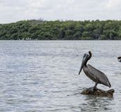 Pelecanus is a genus of sea birds called vulgarly pelicans royalty free stock image