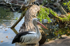 Pelican. In the Berlin zoo Stock Photos