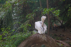 Pelican. In the Berlin zoo Royalty Free Stock Photography