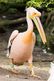 Pelican. Big bird on the beautifyl. Royalty Free Stock Image