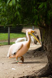 Pelican. Big bird on the beautifyl. Royalty Free Stock Photo