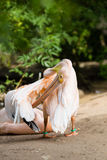 Pelican. Big bird on the beautifyl. Royalty Free Stock Images