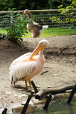 Pelican. Big bird on the beautifyl. Royalty Free Stock Photography