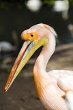 Pelican. Big bird on the beautifyl. Stock Photography