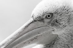 Pelican big bird head macro Stock Image