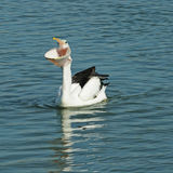 Pelican big mouth. White pelican on blue water with big mouth open with visible throat and open eyes Stock Image