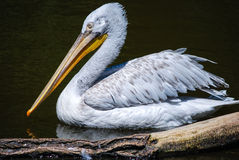 Pelican. A big pelican swimming in a pond Stock Photography