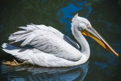 Pelican. A big pelican swimming in a pond Royalty Free Stock Image