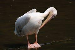 Pelican bird. Closeup of single pelican bird Stock Images