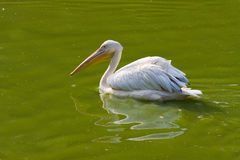 Pelican  bird. Pelican sits on green water Stock Photography