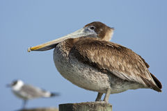 Pelican Bird Stock Images