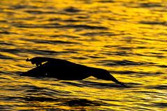 Pelican Bird Royalty Free Stock Photo