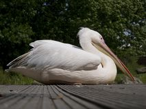 Pelican bird Royalty Free Stock Photography