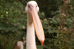 Pelican bird Royalty Free Stock Images