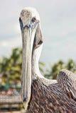 Pelican bird. Closeup portrait of pelican bird with sky background Stock Photography