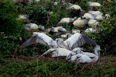 Pelican bird. Group of  pelican birds sitting in the tree and taking rest Stock Images