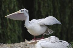 Pelican. Bird Australia Sydney birdwatching Royalty Free Stock Image