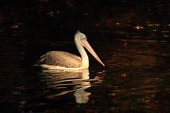 Pelican bird on the autumn lake. Pelican bird is fishing on the autumn lake Stock Photography