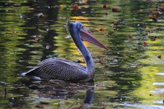 Pelican bird on the autumn lake. Pelican bird is fishing on the autumn lake Royalty Free Stock Photo