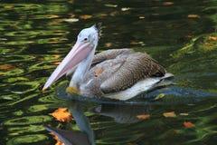 Pelican bird on the autumn lake. Pelican bird is fishing on the autumn lake Royalty Free Stock Photography