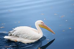 Pelican bird in autumn pond Stock Photos