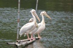Pelican, Bird, Beak, Seabird stock image