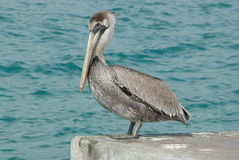 Pelican bird at the border of the sea Stock Photo